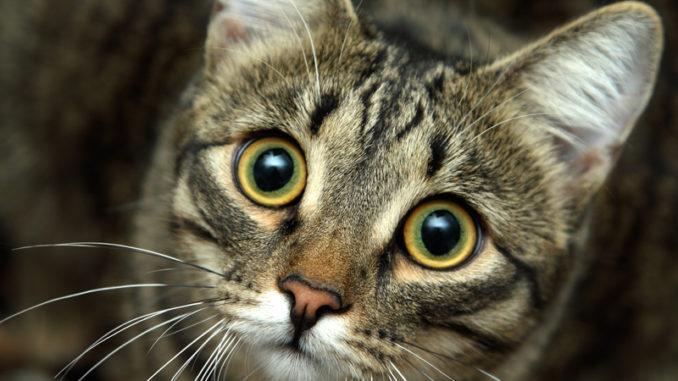 Come fare il lavaggio degli occhi del gatto