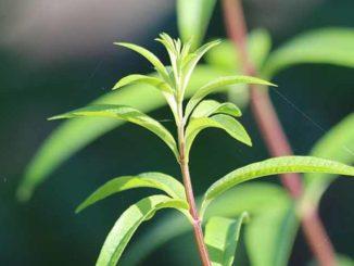 Come coltivare la pianta di citronella